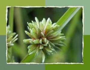 fleur de papyrus