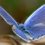 papillon - clipart